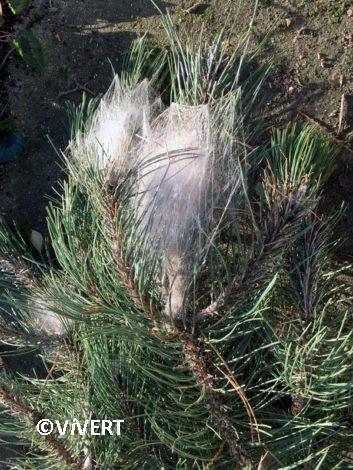 arbres-echenillage-vivert