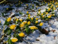 jardiner en janvier - floraisons hivernales
