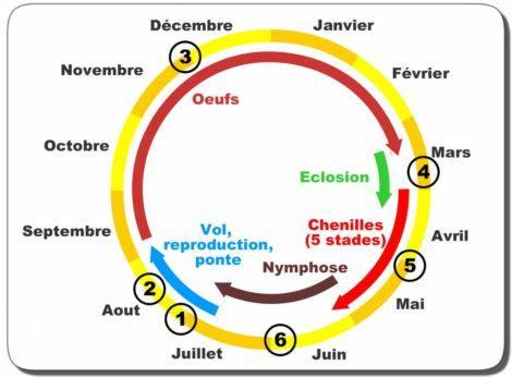 cycle biologique chenille