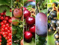 fruitiers